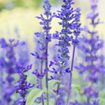 Arquebuse_Water_75_salvia