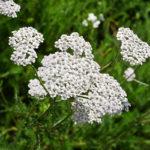 Arquebuse_Water_75_Achillea Millefolium