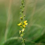 Arquebuse_Water_75_Agrimonia eupatoria