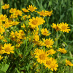 Arquebuse_Water_75_Arnica