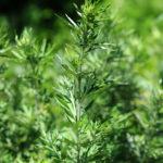 Arquebuse_Water_75_Artemisia vulgaris